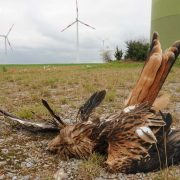 Toter Rotmilan an Windkraftanlage, Foto: C. Gelpke